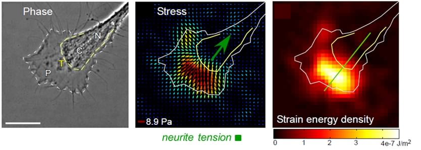 Traction forces generated by a growing neuron
